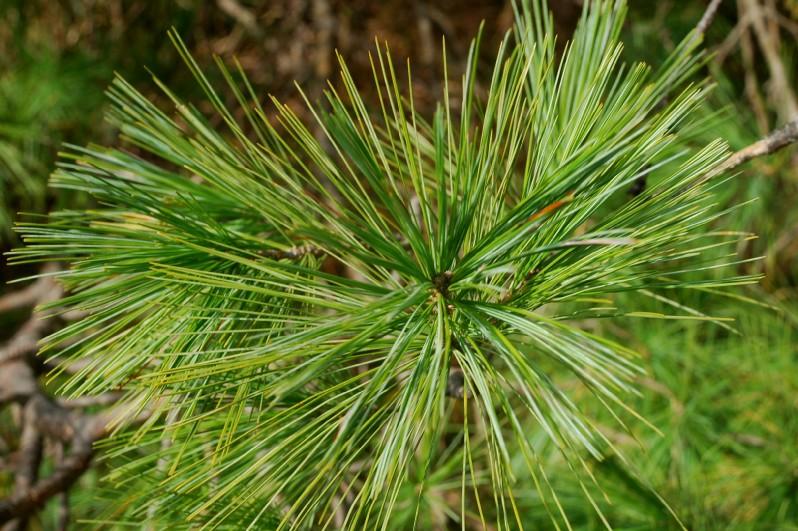 Pinus strobus 7