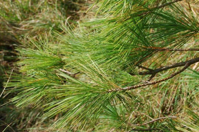 Pinus strobus 8