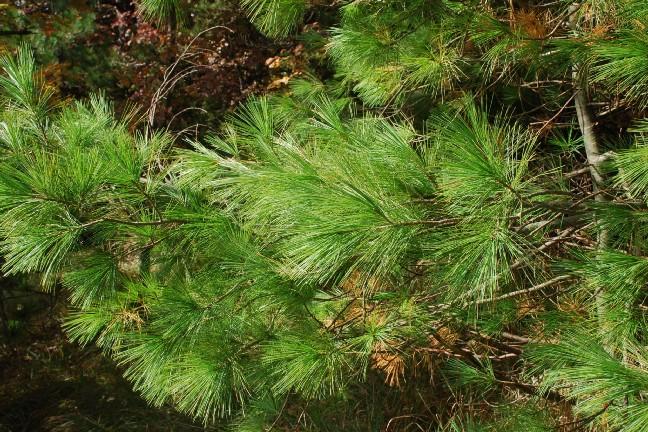 Pinus strobus 9
