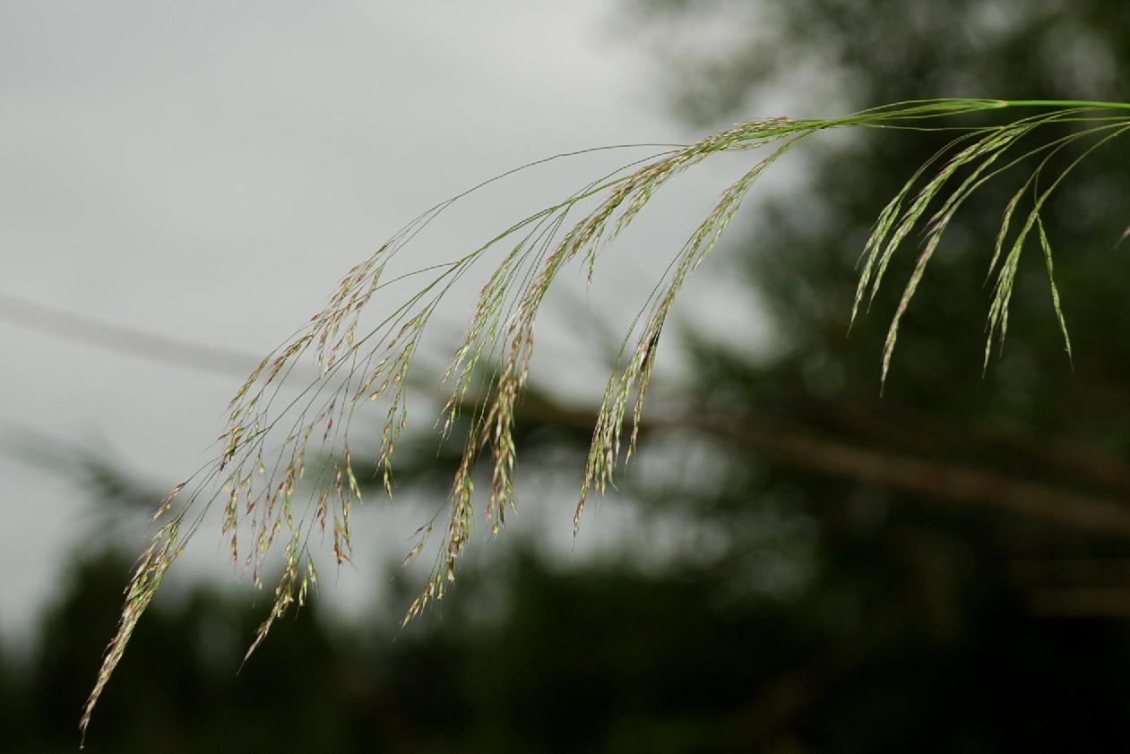 Piptatherum miliaceum subsp. miliaceum 11