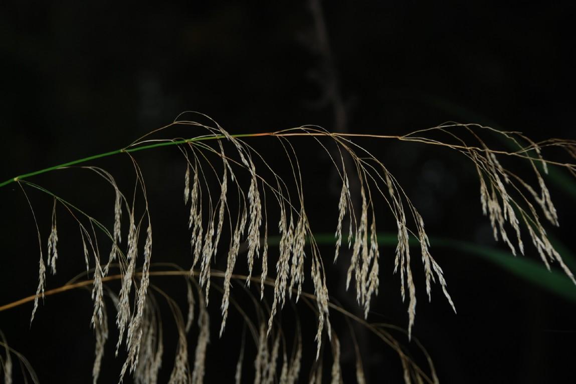 Piptatherum miliaceum subsp. miliaceum 2