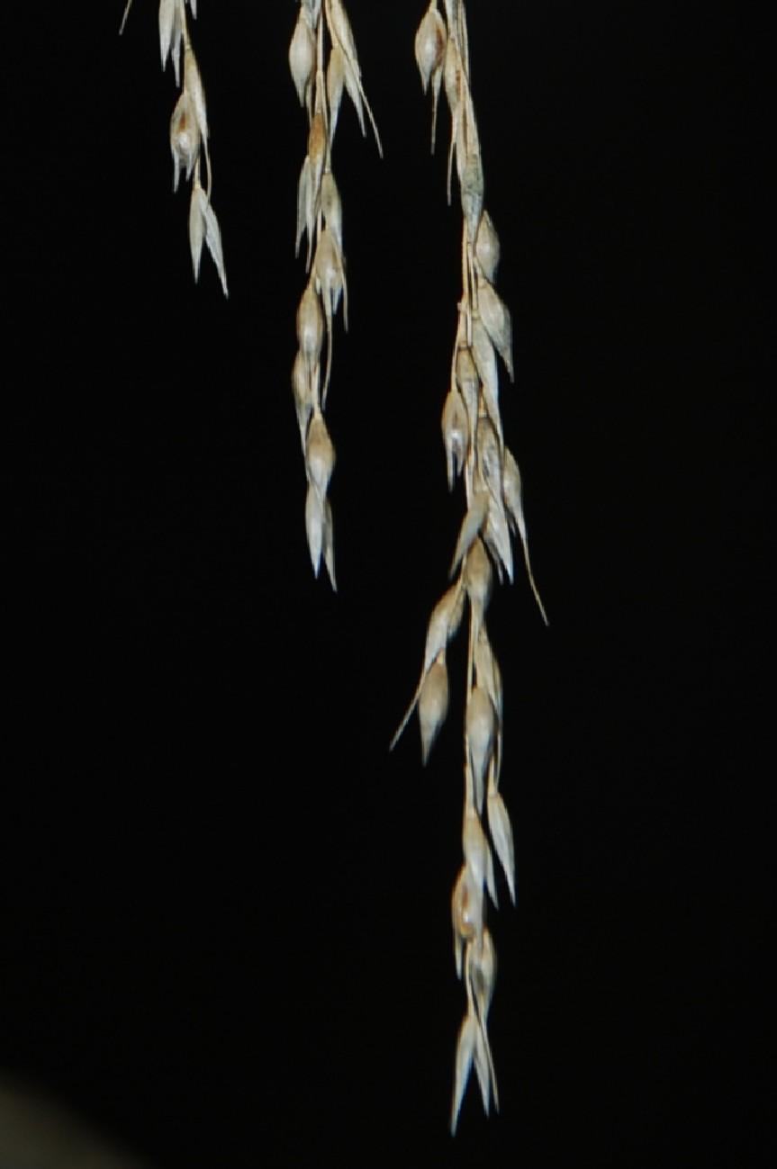 Piptatherum miliaceum subsp. miliaceum 3
