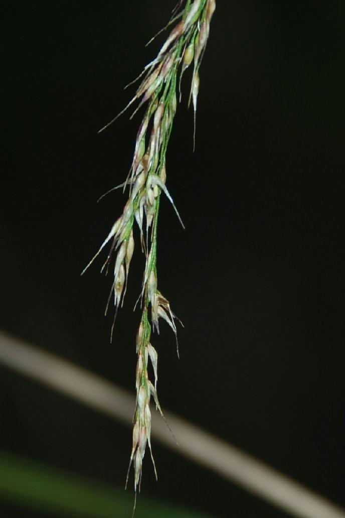 Piptatherum miliaceum subsp. miliaceum 7