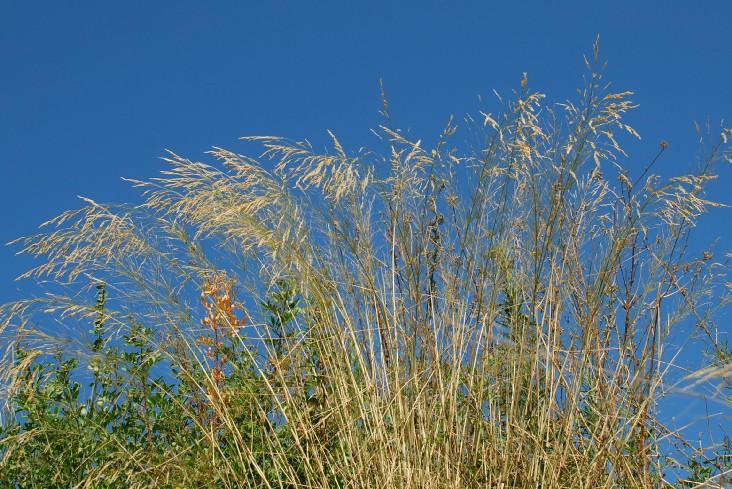 Piptatherum miliaceum subsp. thomasii 13