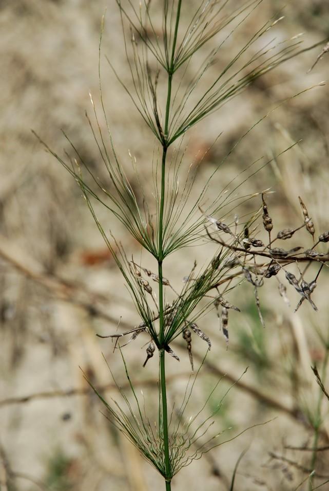 Piptatherum miliaceum subsp. thomasii 2