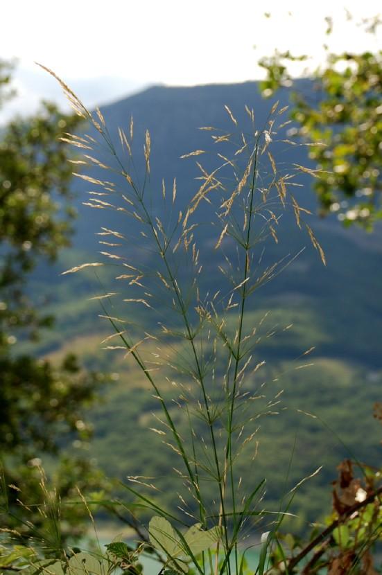 Piptatherum miliaceum subsp. thomasii 4