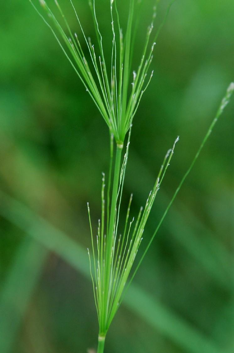 Piptatherum miliaceum subsp. thomasii 7
