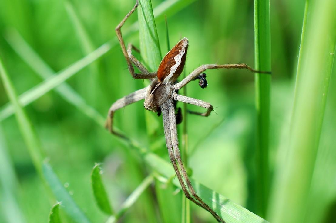 Pisaura mirabilis - Pisauridae