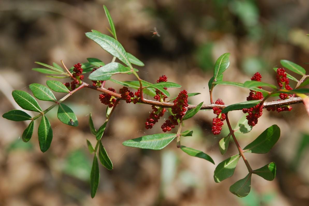 Pistacia lentiscus 10
