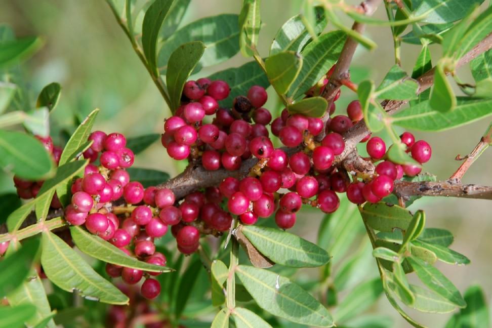 Pistacia lentiscus 14