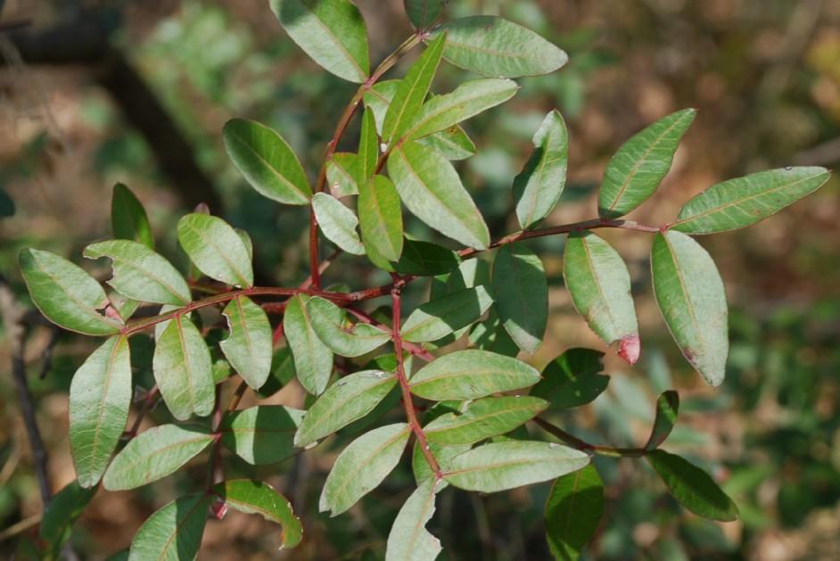 Pistacia lentiscus 8