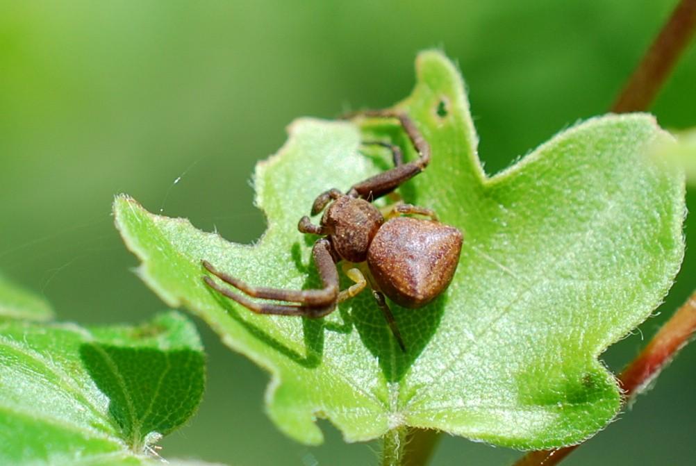Pistius truncatus - Thomisidae