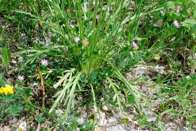 Plantago coronopus 19