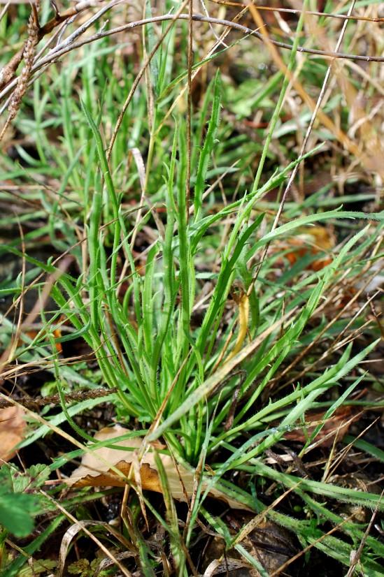 Plantago coronopus 25