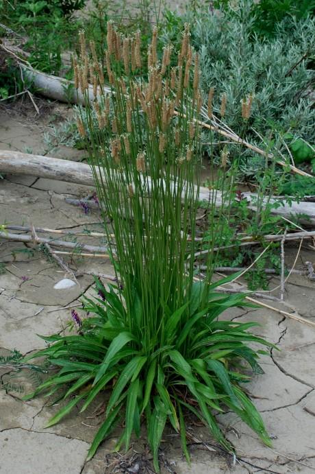 Plantago lanceolata 24