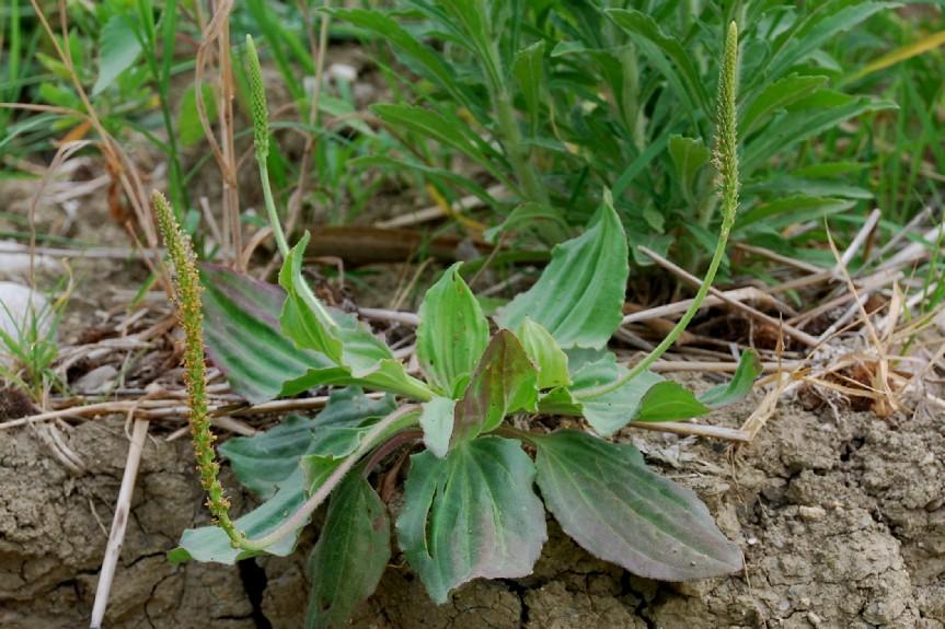 Plantago major subsp. major 16