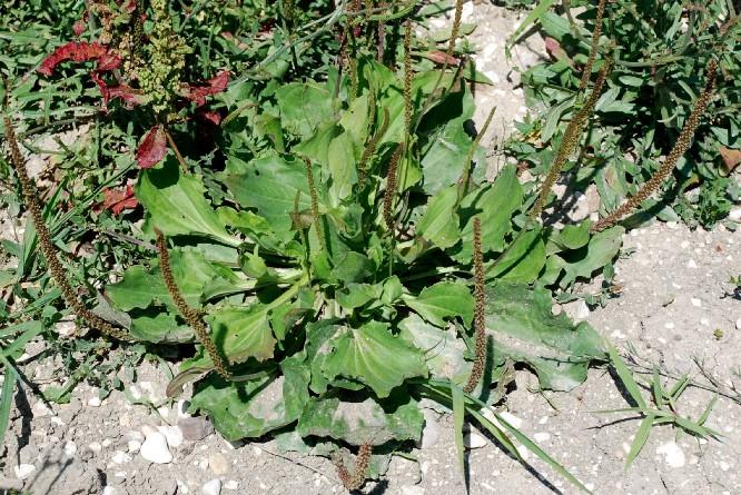 Plantago major subsp. major 18