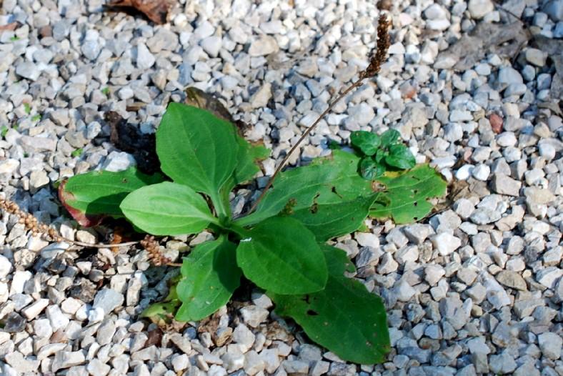 Plantago major subsp. major 29