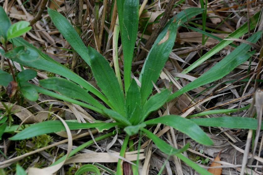 Plantago serraria 8