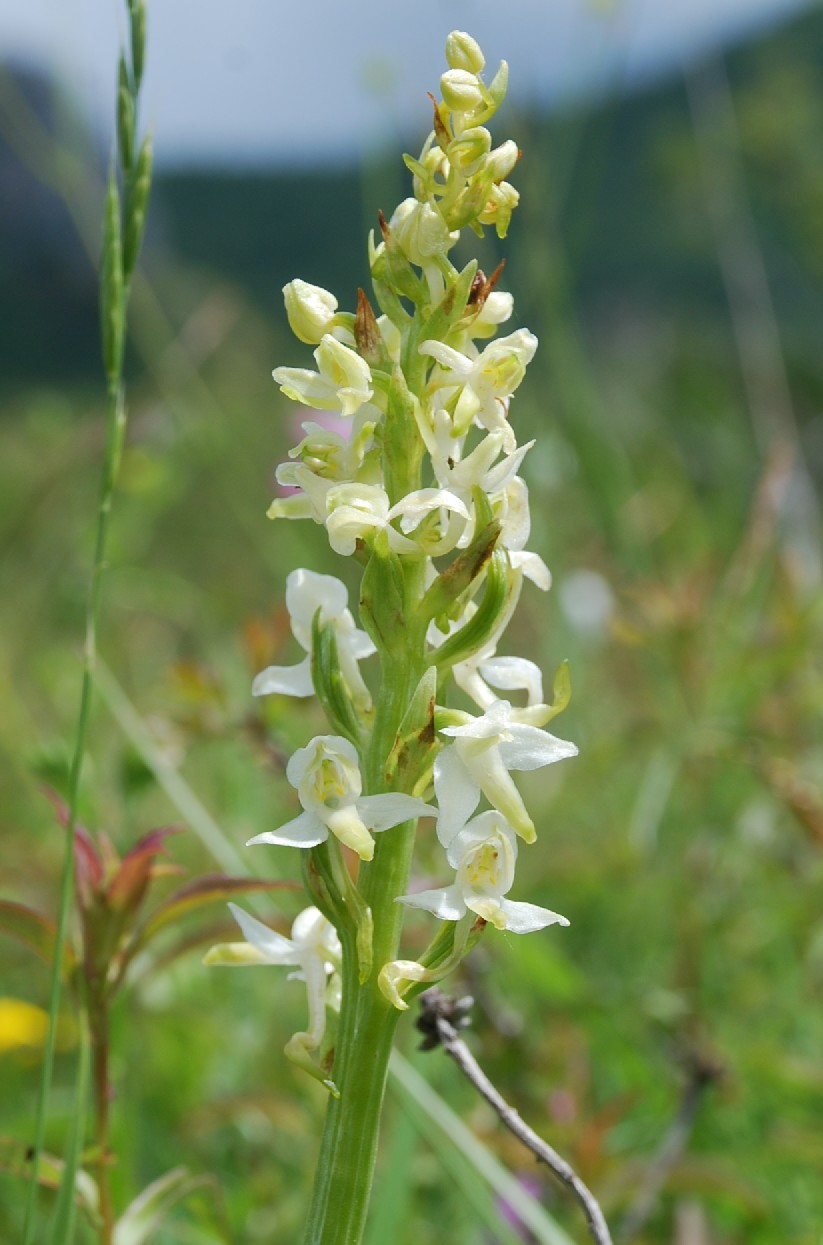 Platanthera bifolia 6