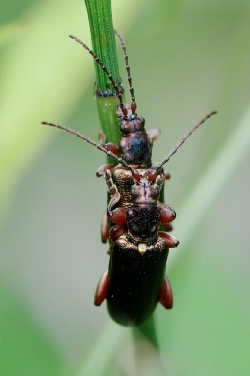 Plateumaris sericea - Chrysomelidae