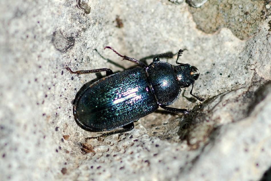 Platycerus sp. - Lucanidae