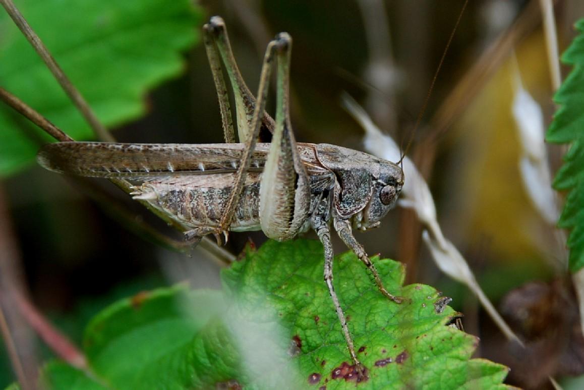 Platycleis sp. - Tettigoniidae