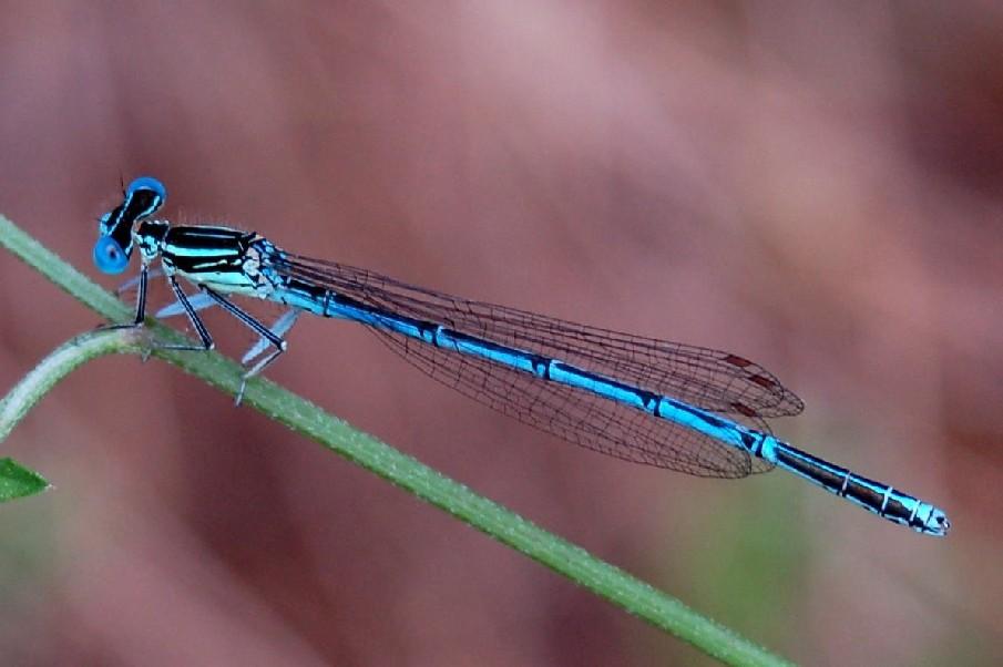 Platycnemis pennipes -Platycnemididae