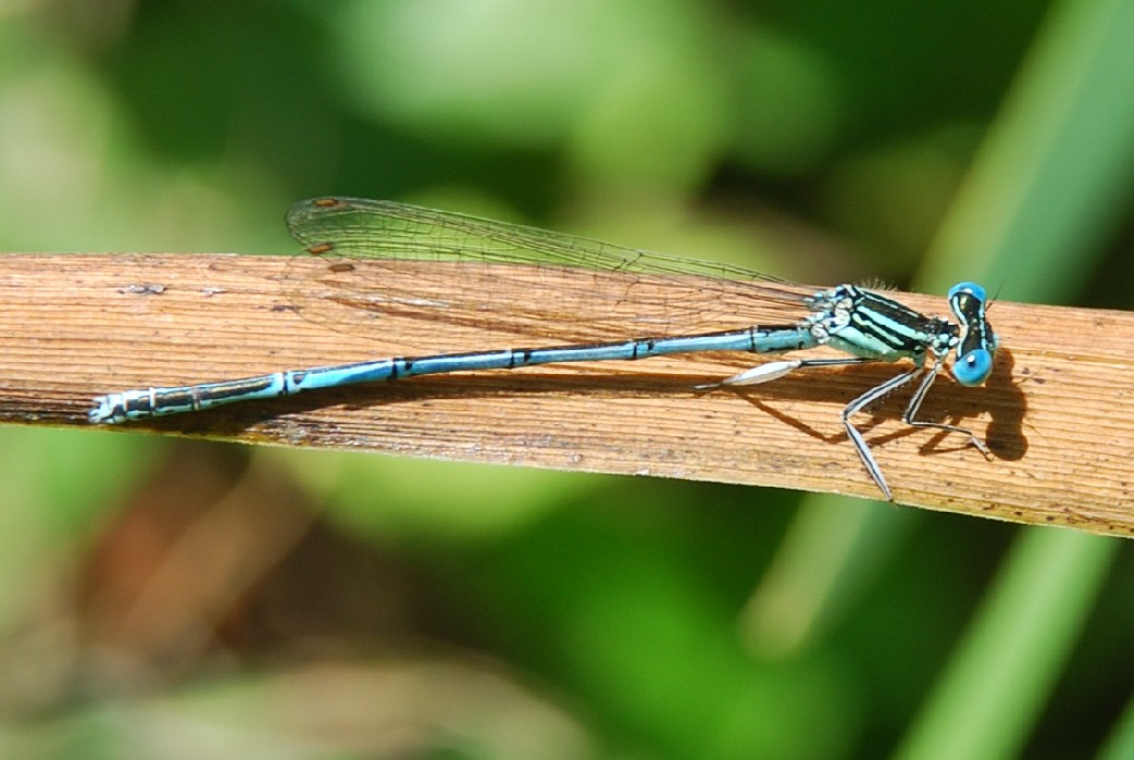 Platycnemis pennipes - Platycnemididae