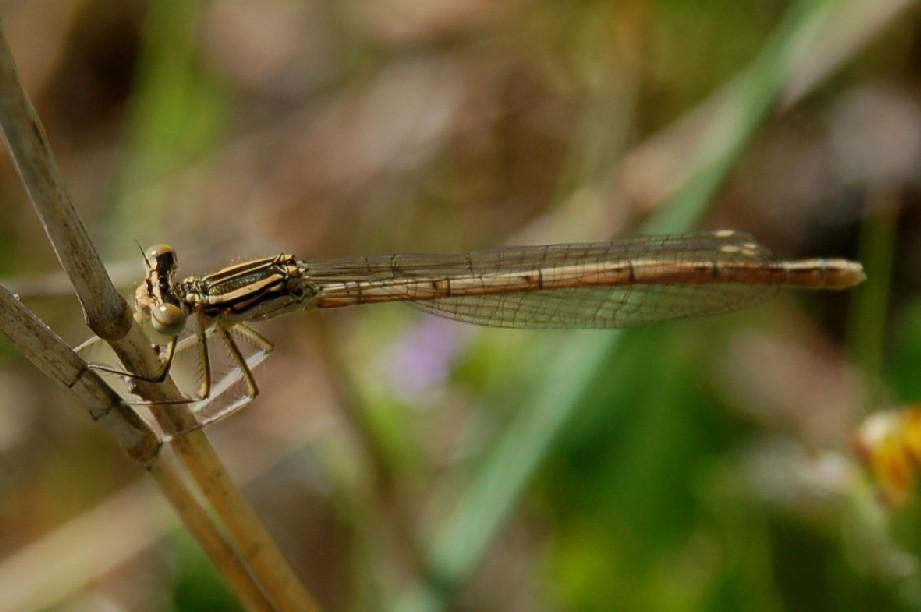 Platycnemis pennipes 2 - Platycnemididae