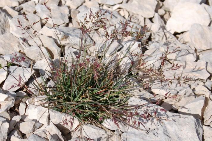 Poa alpina subsp. alpina