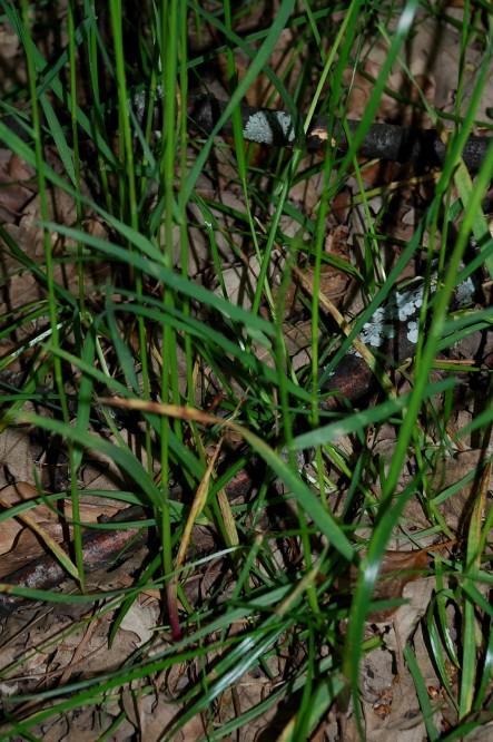 Poa trivialis subsp. sylvicola 3