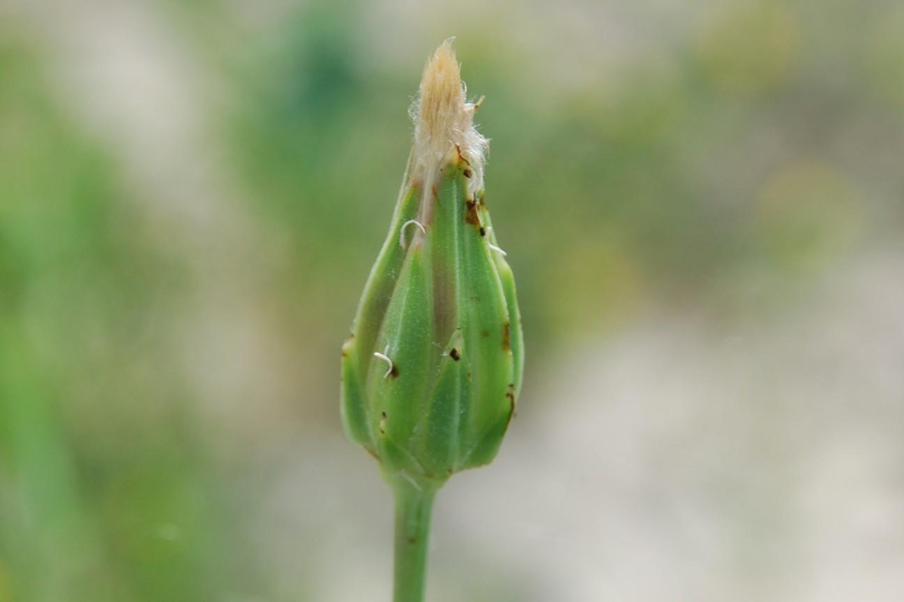 Podospermum canum 6