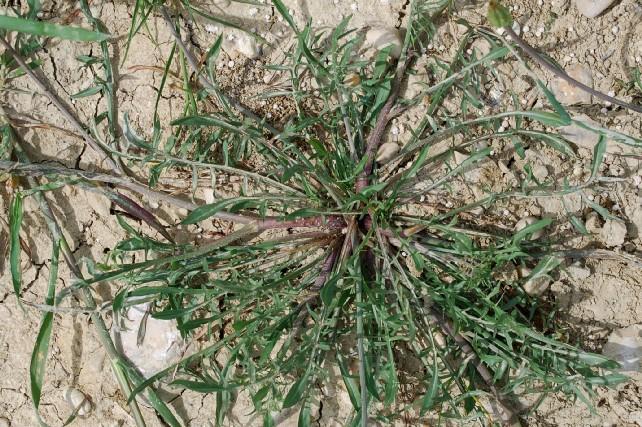Podospermum canum 9