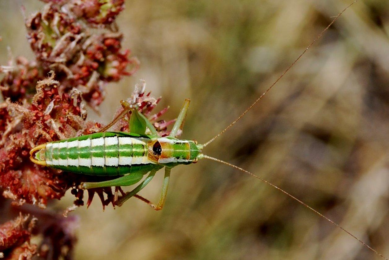 Poecilimon jonicus superbus - Phaneropteridae
