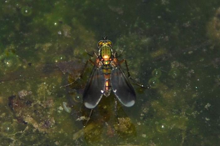 Poecilobothrus nobilitatus - Dolichopodidae
