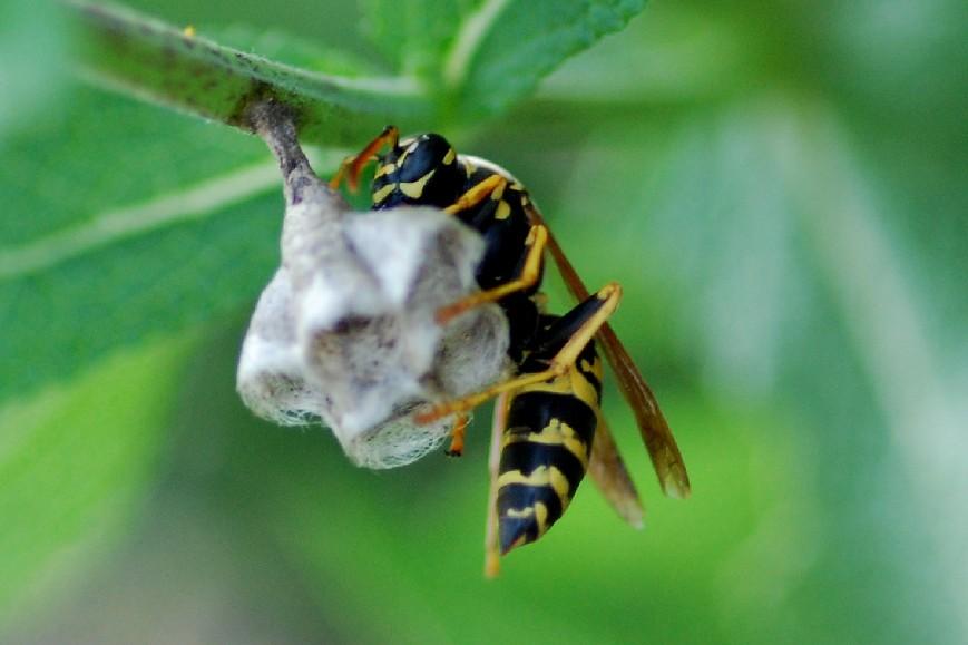 Polistes nimphus - Vespidae