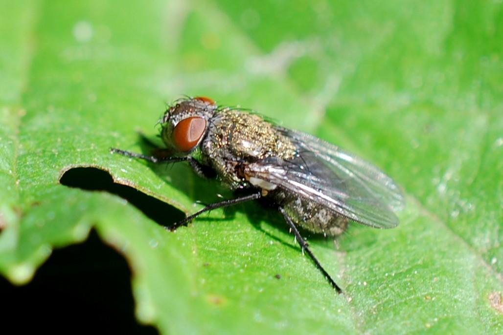 Pollenia rudis - Calliphoridae