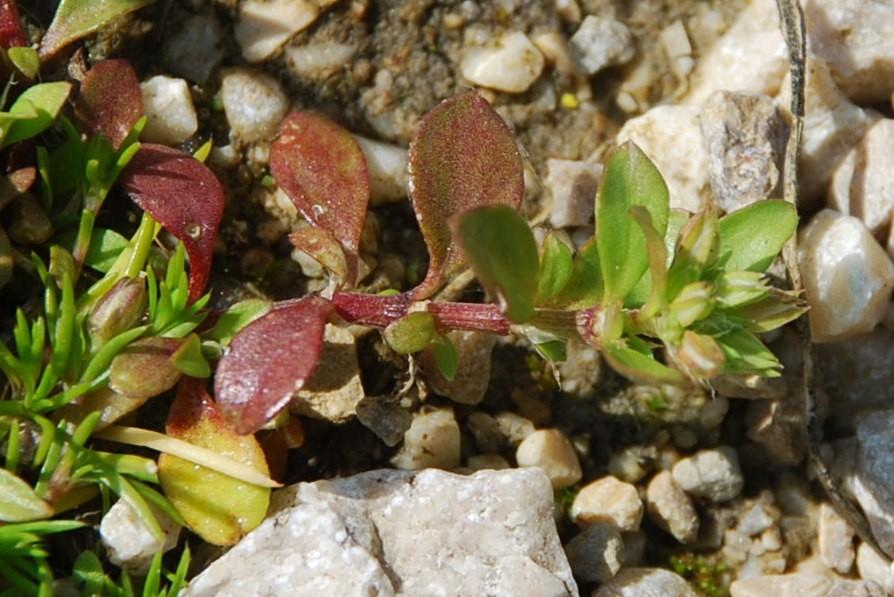 Polycarpon tetraphyllum subsp. tetraphyllum 2