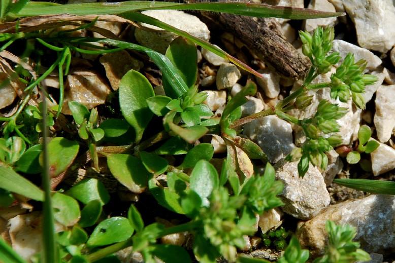 Polycarpon tetraphyllum subsp. tetraphyllum 3
