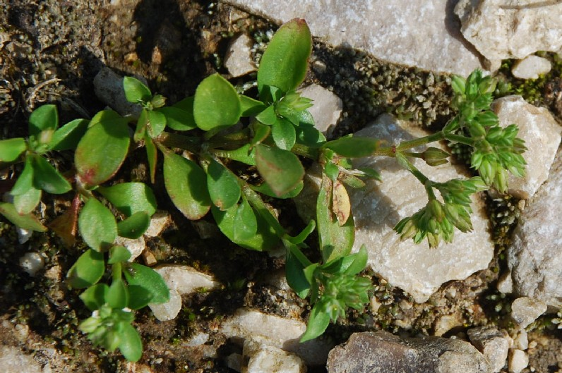 Polycarpon tetraphyllum subsp. tetraphyllum 5