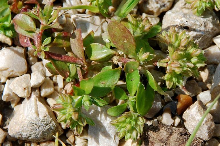 Polycarpon tetraphyllum subsp. tetraphyllum 6