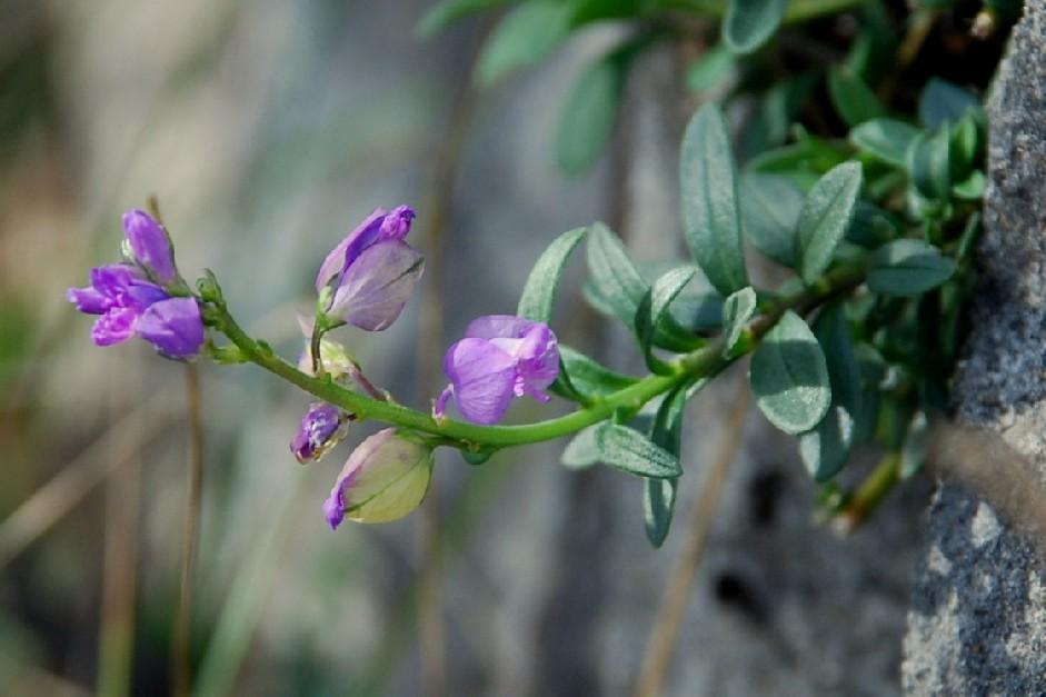 Polygala nicaeensis subsp. mediterranea