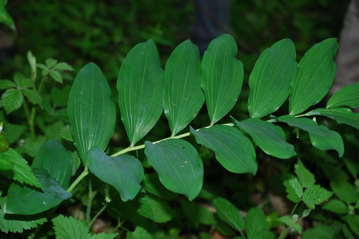 Polygonatum multiflorum 10