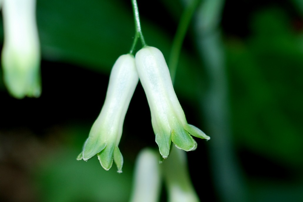 Polygonatum multiflorum 6