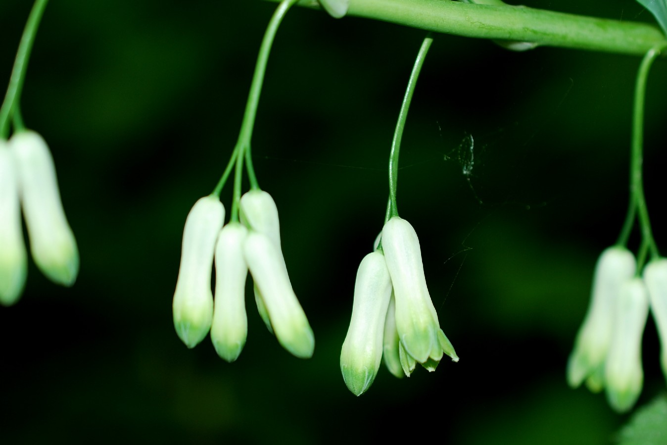 Polygonatum multiflorum 7