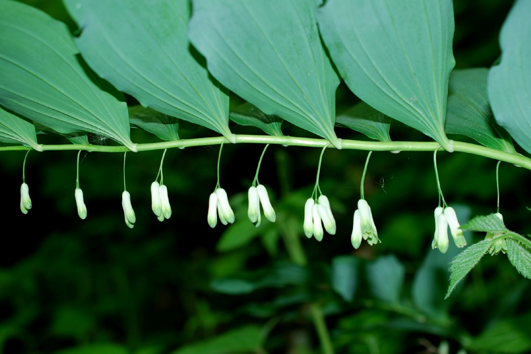 Polygonatum multiflorum 8