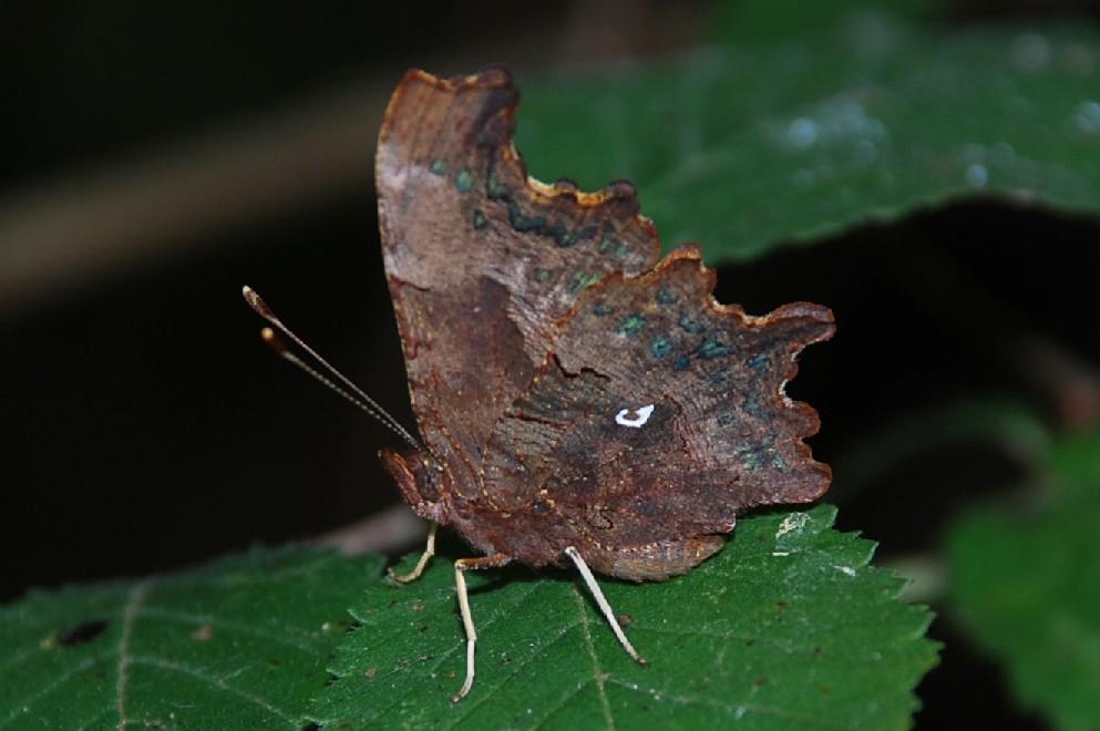 Polygonia c-album - Nymphalidae