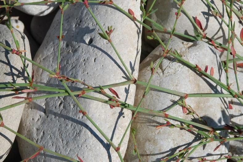 Polygonum aviculare subsp. aviculare 13