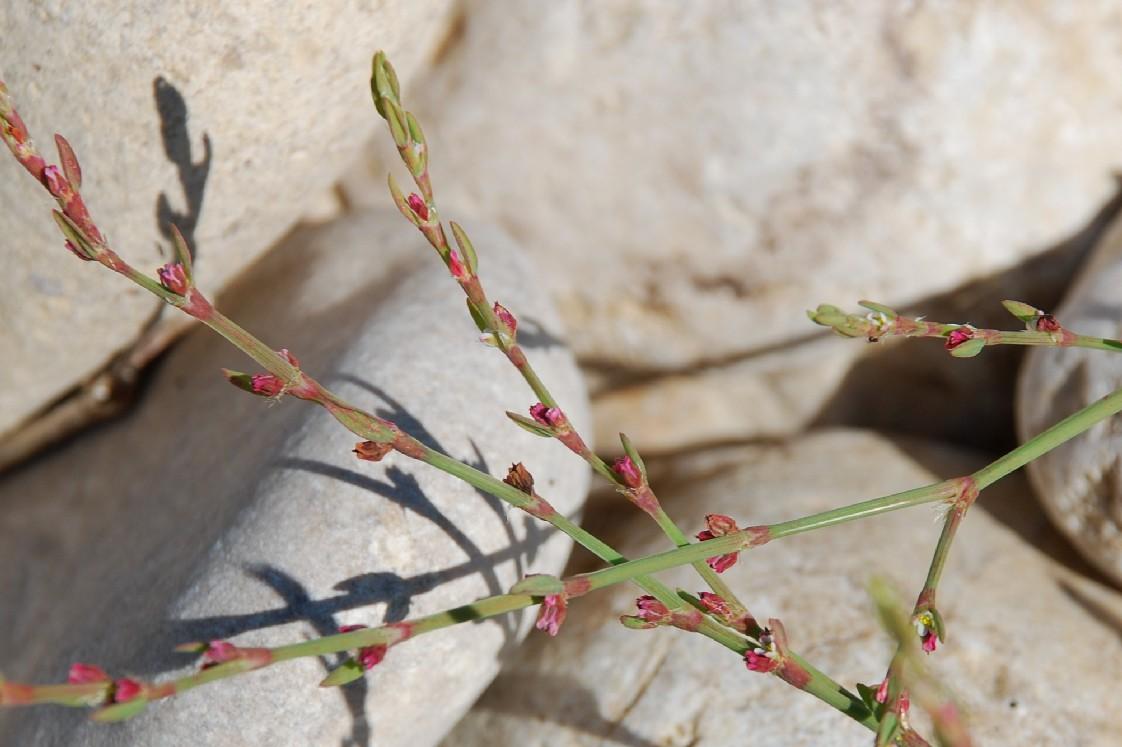Polygonum aviculare subsp. aviculare 14
